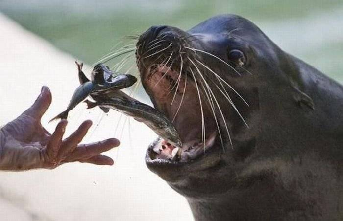 как тюлени ловят рыбу