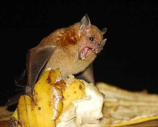 Чем питаются летучие мыши в домашних условиях  688