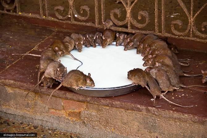 Храм 20 000 живых крыс