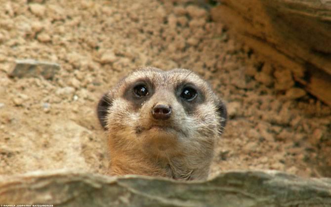 Merkati - životinje koje uzrokuju osmijeh (18 fotografija)