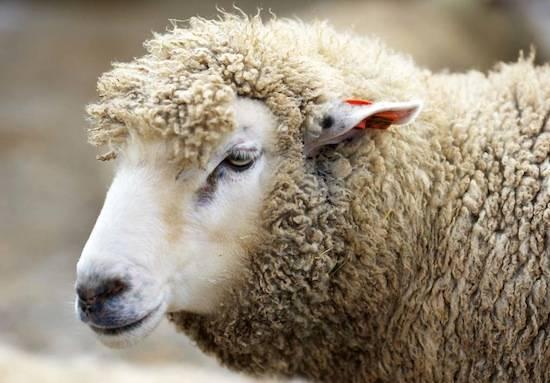 Если одна овца в стаде начинает двигаться быстрее, то все остальные слепо последуют за ней.