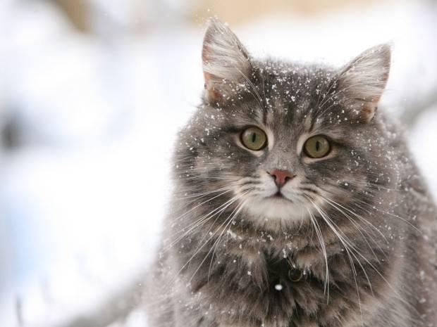 Стерилизации домашние кошки