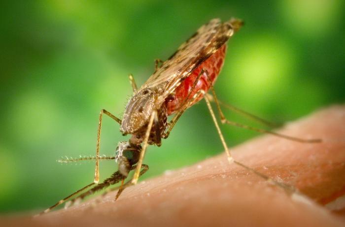 паразиты от комаров