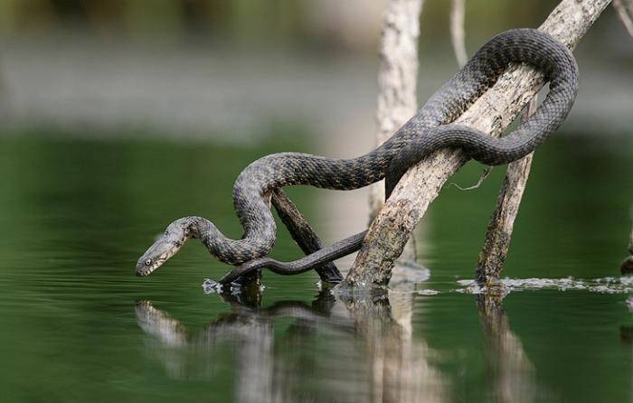 Змеи-рыболовы (15 фото)