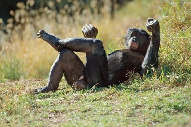 Секс обезьяна ичеловек