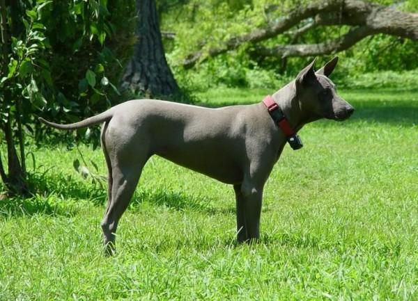 Редкие и исчезающие породы собак (9 фото)