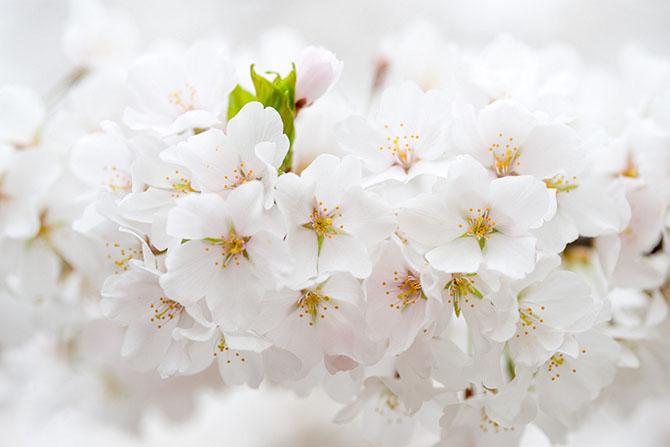 Восхитительные цветущие деревья (12 фото)