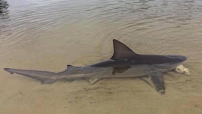 акула серфер фото