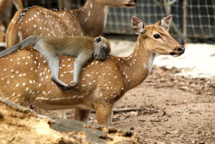 Животные решивших оседлать своих собратьев (10 фото)