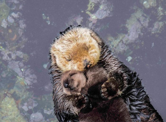 Новорожденный детеныш выдры и его мать во время отдыха (4 фото)
