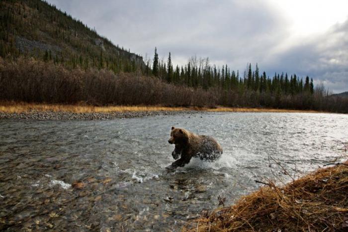 Жизнь медведей на снимках Пола Никлена (26 фото)