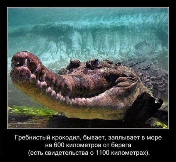 Любопытные факты о крокодилах (21 фото)