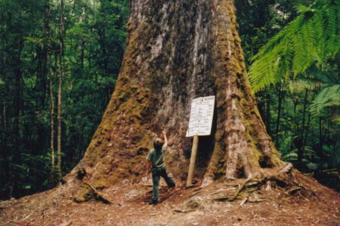 Гигантские эвкалипты Австралии (9 фото)