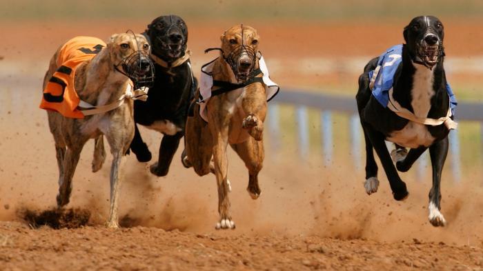 ставки на спорт собаки