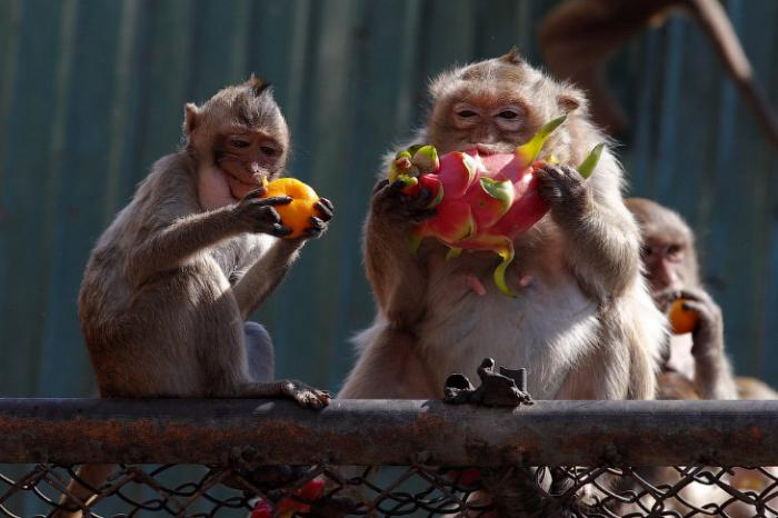 Monkey Buffet Festival: пир для обезьян (22 фото)
