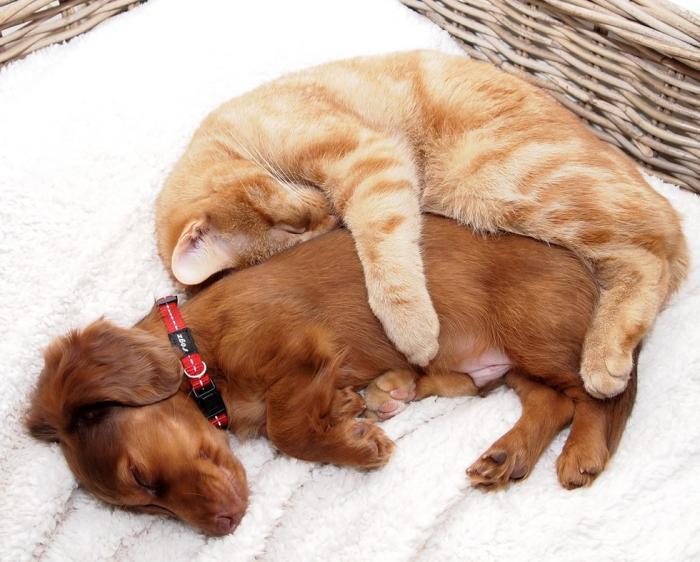 Коты, которые по уши втрескались в собак (20 фото)