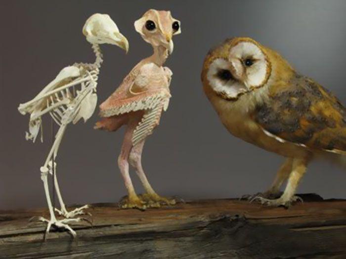 Если с совы ощипать все перья, то она станет походить на инопланетянина (3 фото)