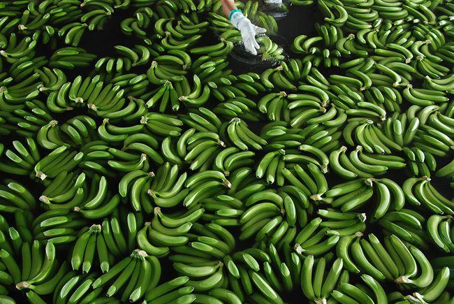 Откуда приезжают бананы (16 фото)