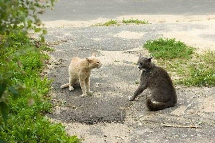 Битва котов (4 фото)