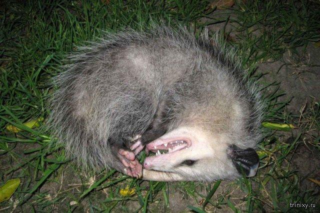 засыпает при опасности животное при