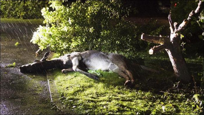 Пьяный лось на яблоне (4 фото)