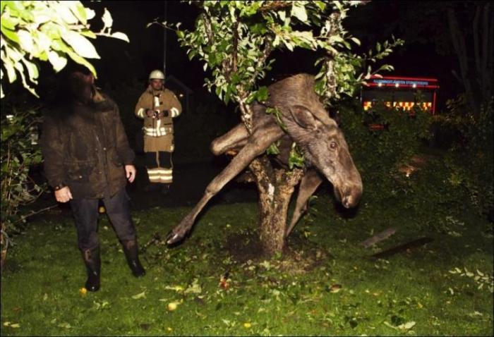 Пьяный лось застрял в дереве! Прикол