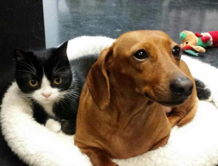 Такса ухаживает за парализованной кошкой (4 фото)