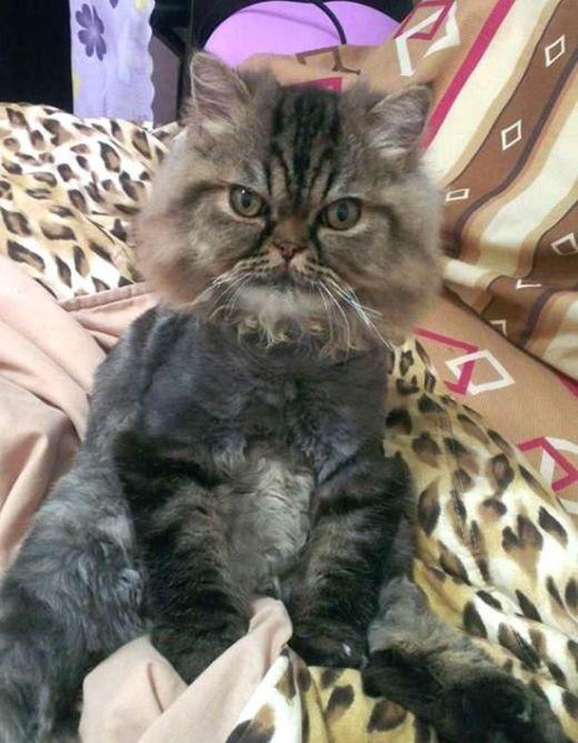 Неудачная стрижка превратила важного кота в посмешище (3 фото)