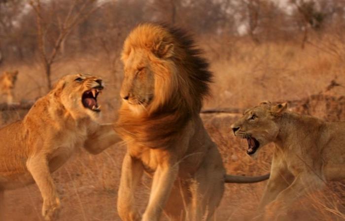Лев залез на львицу секс