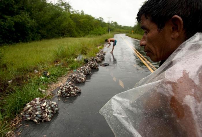 Как охотятся на крабов в Бразилии (8 фото)