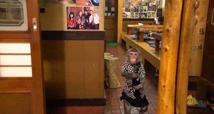 Макаки работают официантами в японском баре (4 фото)