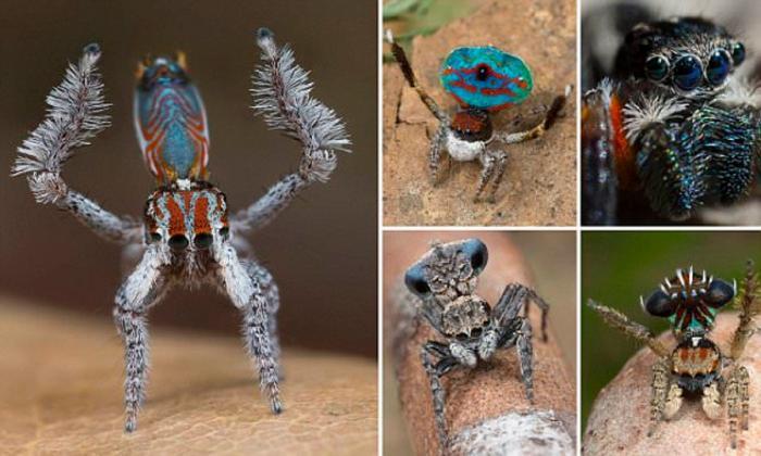 Самый красивый паук обитает в Австралии (11 фото)