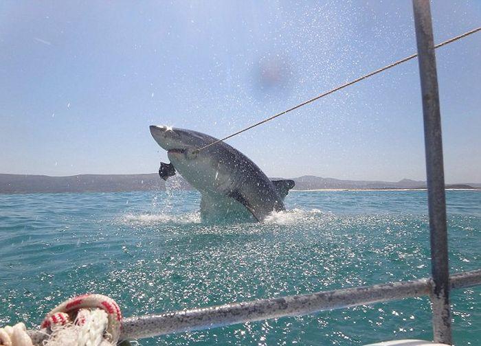 Туристы сфотографировали гигантскую белую акулу в открытом море (4 фото)