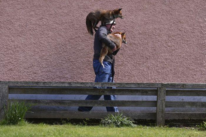 Ирландец спас и приручил десяток лис (10 фото)