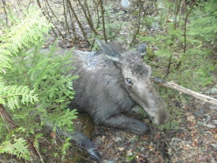 Молодой человек спас лося из смертельно опасной ситуации (7 фото)