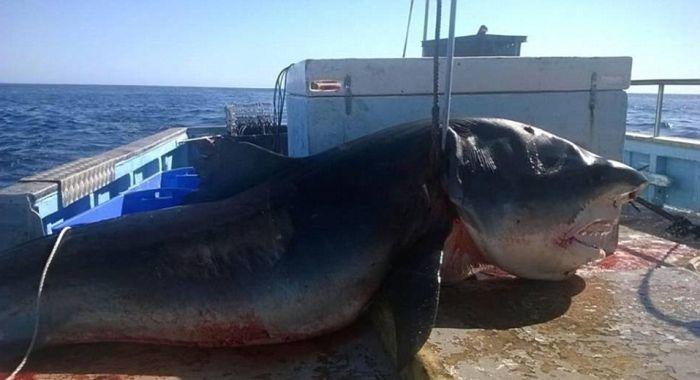 Рыбак обнаружил тело 6-метровой тигровой акулы (2 фото)