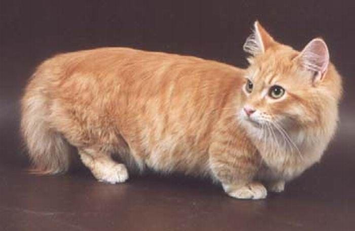 Коротколапые котики  (14 фото)