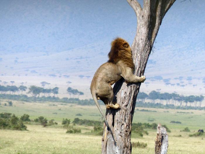 Льву пришлось спасаться от собственной добычи (5 фото)