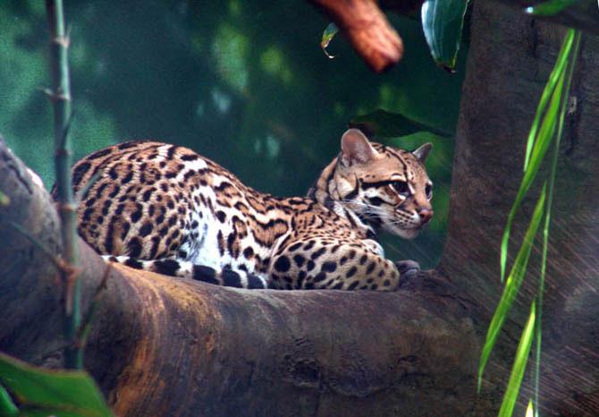 Оцелот – карликовый леопард (28 фото)