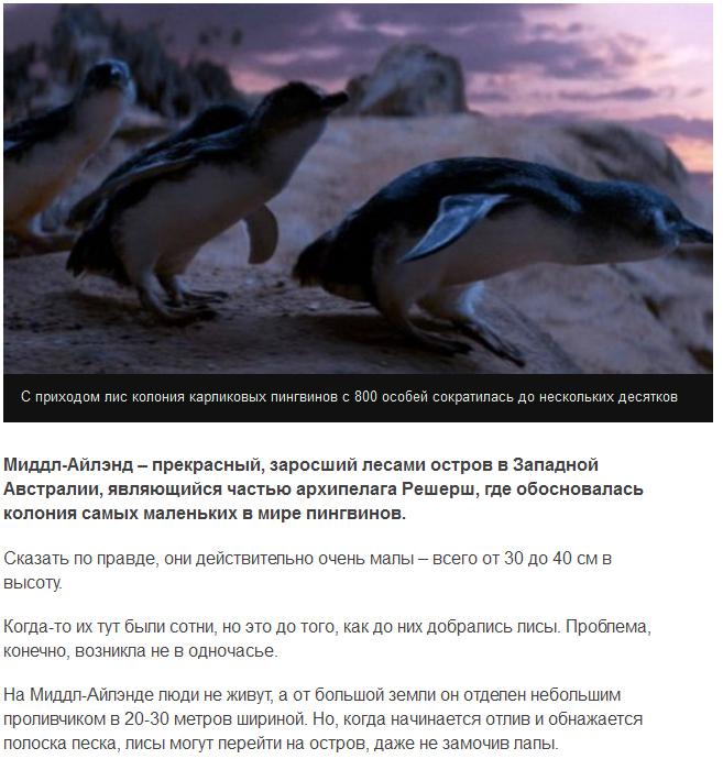 Собаки спасли пингвинов от уничтожавших их лис (6 фото)